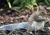 "The Chestnut Centre - squirrel <a style=""margin-left:10px; font-size:0.8em;"" href=""http://www.flickr.com/photos/78486882@N04/11994788635/"" target=""_blank"">@flickr</a>"