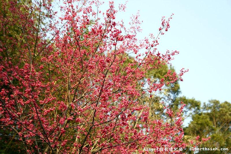 【山櫻花】桃園復興.成福道路(桃119線)