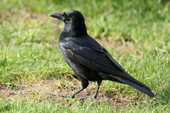 Carrion Crow (Ben.Hartmann *125,000 views!! Thanks everyone!!*) Tags: sony sigma crow carrion 500mm a580