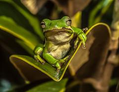 What, me worry ? (ScreaminScott) Tags: nikond70s frog lesterdine105mmf28 nationalgeo lightroom44 lesterdineringpointlight potd:country=fr