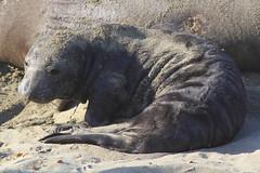 IMG_5244 Elephant Seal Pup (ThorsHammer94539) Tags: elephant seals blancas piedras
