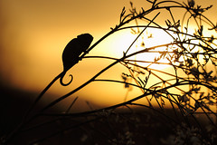 Mediterranean Chameleon Silhoutte, Spain (Daniel Trim) Tags: sunset macro silhouette spain europe mediterranean european reptile south macros common chameleon chamaeleon chamaeleo