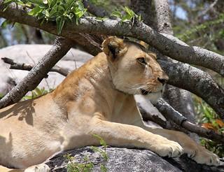 Lioness............