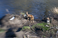 Cody and Bunty (Kayleigh McCallum) Tags: boy dog cute beagle girl lensbaby photography labrador cody bunty foxredlabrador