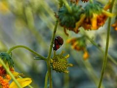 Mating Lady Bugs (ThrghMyEyes) Tags: macro closeup sunflowers ladybugs busted mothernature luckyshot scottsdalearizona matingseason matingladybugs arizonaoutdoors