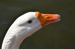 """L'oie Klaxon, la """"chrie"""" de notre ami Jacques ! Ou plutt le copain, car c'est un jars ! (TICHAT10) Tags: orange suisse animaux blanc oiseaux morges oie klaxon alittlebeauty fantasticnaturegroup"""