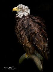 Aguila Calva (Gelert, el eterno aprendiz) Tags: canon ave pico pluma pajaro aguila calva ltytr2 ltytr1 ltytr3