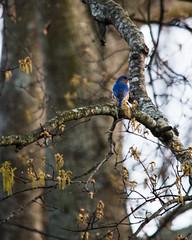 Eastern Bluebird #1 (jklocksiem) Tags: bird flickr fb easternbluebird