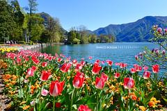 #022 Tulipani (Enrico Boggia | Photography) Tags: primavera fiori lugano cancello lungolago luganese tulipani lagodilugano ceresio ciani lagoceresio montebr parcociani villaciani enricoboggia