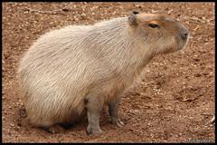 Capybara (Hydrochoerus hydrochaeris) (Xavier Bayod Farr) Tags: xavier capybara rodentia capibara hydrochoerushydrochaeris bayod zoobarcelona hydrochoerus hydrochaeris farr hystricomorpha caviidae canoneos60d sigma120400 xavierbayod xavierbayodfarr