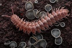 Mollisia - Millipede (andre de kesel) Tags: studio fungi canonmpe65mm ascomycota millipedes focusstacking canon5dmkii mollisiacinerea meniksw400 wooddecomposers polydesmusdenticulatus