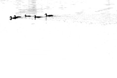 - - - - - (A><EL) Tags: white lake black water duck