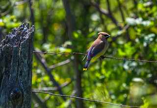 Cedar waxwing on fence