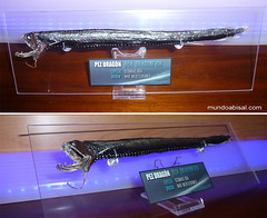Pez boa gigante. Dragon fish. Barbeled stomias boa (Fran Martín de la Sierra) Tags: ocean sea fish pez monster fauna marina tooth mar stuffed marine mediterranean mediterraneo dragon jaw teeth alien deep taxidermy boa stuff demon creature exploration pesca rare marino oceano dragonfish raro dientes demonio exposición decoración coleccionismo criatura monstruoso profundidad metacrilato metopa barbilla abisal insólito abyssal taxidermia luminiscencia mandíbula exploración disecado profundidades barbeled stomias disecar luminiscente fotóforos
