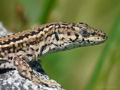 Siesta (Maite Mojica) Tags: sol animal siesta dormir lagartija descanso temperatura reptil reposo dormitar vertebrado calentarse