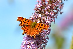 The Big Butterfly Count (Andrew Cooper Photography) Tags: pink flowers blue wild summer sky orange brown flower colour beautiful butterfly insect geotagged photography photo pattern patterns wildlife tag butterflies july conservation insects tags tagged help photograph colourful creature survey geotag count invertebrate photooftheday 2015 butterflyconservation butterflycount savebutterflies bigbutterflycount