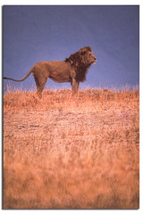 Lion 1 (rihaje588) Tags: africa elephant tanzania buffalo kenya hotair balloon lion leopard mara rhino crocodile cape cheetah hippo hippopotamus baboon impala serengeti photosafari masai rhinoceros stork topi lakemanyara kudu eastafrica bustard olduvaiolduvai