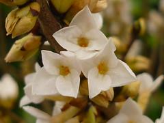 Daphne mezereum alba (Jörg Paul Kaspari) Tags: wiltingen februar 2017 daphne mezereum alba daphnemezereumalba weiser seidelbast blüte weis white flower duftpflanze wachsweis