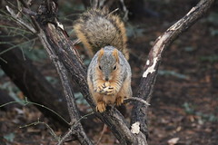 Squirrels in Ann Arbor at the University of Michigan (February 28th through March 3rd, 2017) (cseeman) Tags: gobluesquirrels squirrels annarbor michigan animal campus universityofmichigan umsquirrels03032017 winter eating peanut februaryumsquirrel umsquirrel foxsquirrels easternfoxsquirrels michiganfoxsquirrels universityofmichiganfoxsquirrels