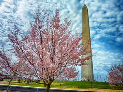 Cherry Blossoms at the Washington Monument (` Toshio ') Tags: toshio washington washingtondc dc districtofcolumbia cherryblossoms washingtonmonument flowers blooms tree sky clouds capitol