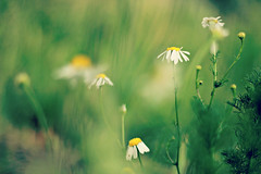 I love the smell of Chamomile (Madalina M) Tags: pictures pink autumn light summer flower color colour tree green fall love rain rose yellow coral kew gardens digital canon happy eos 50mm book leaf spring stem colorful shoot with heart bright image blossom head cluster picture salmon fuchsia gimp vine images spray petal made soul buy bloom spike after annual bud colourful flush blush dslr purchase herb survivor textured perennial posy enthusiasm beuty roseate chamomile inflorescence pompon floweret floret efflorescence 600d