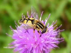 The pretty Hoverfly and the Thistle (Nadine V.) Tags: flower nature bug insect lumix fly natuur panasonic hoverfly bloem vlieg zweefvlieg sooc eristalispertinax fz38 panasonicdmcfz38 fz35 dmcfz35 dmcfz38 dmc38