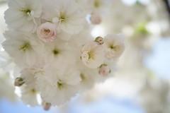 2013SAKURA (Hanafan) Tags: flowers sapporo sakura cherrytree rx1