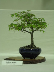 Zelkova 74 010613 (Bonsaigirl) Tags: scotland display gardening bonsai caledonian 2013
