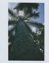 Palm tree (Jacob's Camera Closet) Tags: camera tree film fuji thomas palm instant edison 210