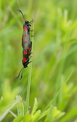 Couple de zygène du trèfle (Zygaena trifolii) (réj@ubert) Tags: macro nature sony du papillon aude trèfle zygaena zygène trifolii tamronspaf90mmf2 réjubertséb