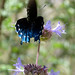 Pipevine Swallowtail. Battus philenor