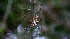 A Bugs Life (Wild in Africa.) Tags: wild nature animals southafrica spider bush wildlife bugs krugernationalpark kruger clintonjonker