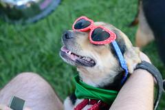 Kodaline @ Dog Days of Summer (Save-A-Pet Adoption Center) Tags: dog beagle female adopted dogdaysofsummer 2013 justoneday kodaline