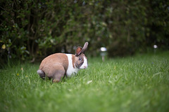 (Tomas Ramoska) Tags: uk color cute rabbit bunny green grass yellow canon fence eos leicestershire 14 l 5d 50 24105 mkiii 5dmkiii tomasramoska