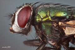 Lucilia sp (picareto) Tags: verde stacking reversed mosca luciliasp varejeira 60photos steinheil35mm 52mmet