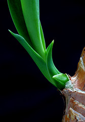 Something New (AnyMotion) Tags: flowers plants macro green nature floral colors garden leaf stem colours frankfurt natur pflanzen blumen grn makro blatt garten sprout yucca farben onblack stamm makroaufnahmen anymotion spross 2013 palmlilie canoneos5dmarkii 5d2