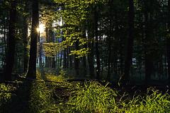 _DSC3412 Abendtraum - evening dream (baerli08ww) Tags: forest germany deutschland nikon eveningsun wald rheinlandpfalz abendsonne westerwald rhinelandpalatinate abigfave sunrays5
