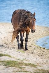 Nice Day for a Stroll (jeff_a_goldberg) Tags: horse canada novascotia nationalgeographic wildhorse parkscanada loh sableisland feralhorse fishermansharbour sableislandhorse sableislandpony sableislandnationalparkreserve