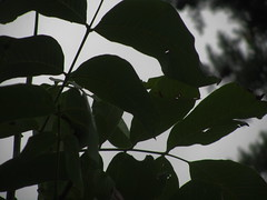 Worm-eaten leaf ! (حــسامـم !) Tags: tree green beautiful fruit leaf stem branch walnuts worms crawling درخت سبز گردو کرم زیبا میوه شاخه برگ خزنده ساقه