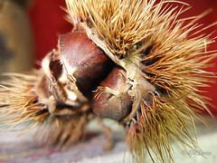Erizo. (JMYuste) Tags: chestnuts burr castaas erizos cupule