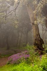 Secrets of the cloud forest (Tuk Tuk Tales) Tags: wood trip travel flowers trees mist flower tree nature fog clouds forest landscape arbol island haze nevel spain bush flora nikon scenery europe nebel hike cloudforest bos canaryislands bloem lagomera woud nevelwoud mygearandme