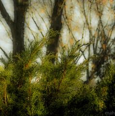 Evergreen (mahar15) Tags: november green nature bush seasonal evergreens shrub juniper juniperbush wintergreens