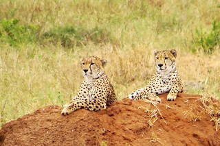 Cheetah siblings