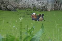 Mandarinente im Zoo de Trgomeur (Ulli J.) Tags: france zoo frankreich bretagne mandarinduck mandarinente canardmandarin trgomeur ctesdarmor