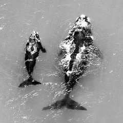 Southern right whales, mother with calf (Denis Roschlau Photography) Tags: cow flying wildlife mother aerial safari whale whales calf whalewatching walkerbay southernright africanwings