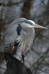 great blue heron (courtney065) Tags: heron nature birds animals greatblueherons nikond200