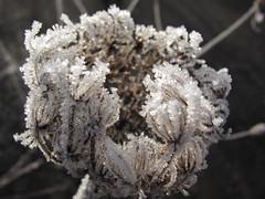 Raureif (germancute) Tags: winter plant nature germany deutschland thüringen thuringia germancute