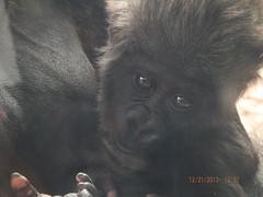 Close-Up of Anaka's Face (MsLiz788) Tags: zooatlanta westernlowlandgorilla zoosofnorthamerica