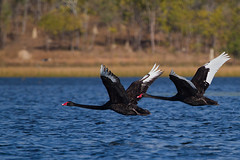 Black Swans in flight (Mr Bennett Kent) Tags: bird nature wildlife australia explore 7d queensland birdsinflight blackswan cygnusatratus bif australianbirds australianwildlife birdinflight australi