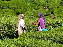 Tea picking, Munnar (Lazy Lizard) Tags: india tea indian kerala southindia westernghats munnar teapicking